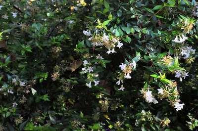 Abelia Grandiflora Francis Mason Willaert Boomkwekerij