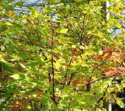 Acer Palmatum Summer Gold Willaert Boomkwekerij