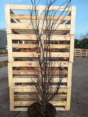 Acer Palmatum Skeeters Broom Willaert Boomkwekerij