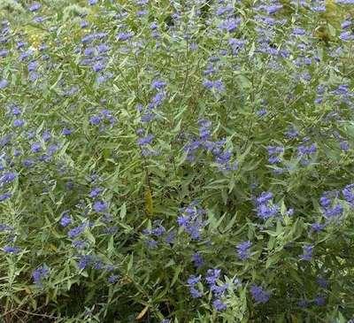 caryopteris clandonensis 39 heavenly blue 39 willaert. Black Bedroom Furniture Sets. Home Design Ideas