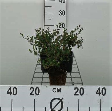 Cotoneaster radicans