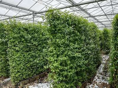 Euonymus fort.