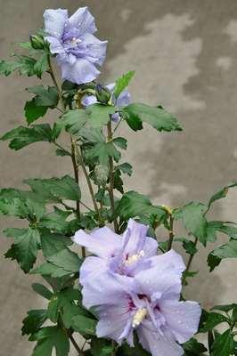 Hibiscus Syriacus Blue Chiffon Notwoodthree Willaert Boomkwekerij