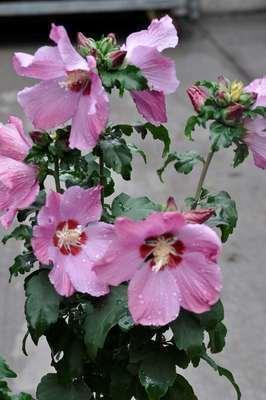 hibiscus syriacus 39 pink giant 39 willaert boomkwekerij. Black Bedroom Furniture Sets. Home Design Ideas