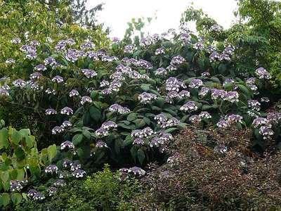 hydrangea aspera 39 macrophylla 39 willaert boomkwekerij. Black Bedroom Furniture Sets. Home Design Ideas