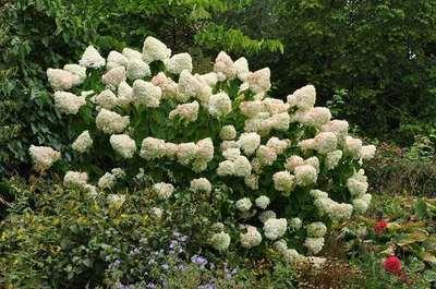 hydrangea paniculata 39 limelight 39 willaert boomkwekerij. Black Bedroom Furniture Sets. Home Design Ideas