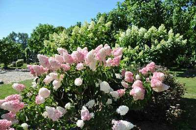 hydrangea paniculata 39 vanille fraise 39 willaert boomkwekerij. Black Bedroom Furniture Sets. Home Design Ideas