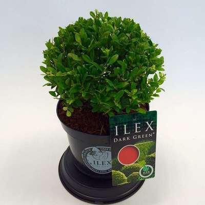 ilex cren 39 dark green 39 willaert boomkwekerij. Black Bedroom Furniture Sets. Home Design Ideas