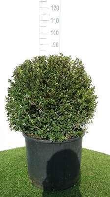 ilex crenata 39 dark green 39 willaert boomkwekerij. Black Bedroom Furniture Sets. Home Design Ideas