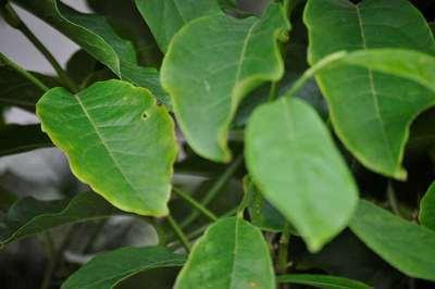 magnolia soulangeana   willaert boomkwekerij