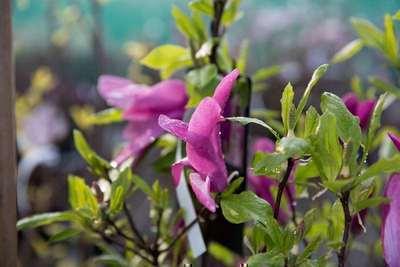 magnolia 'susan'   willaert boomkwekerij