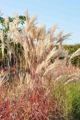 miscanthus sinensis 39 malepartus 39 willaert boomkwekerij. Black Bedroom Furniture Sets. Home Design Ideas