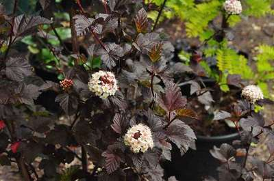 Physocarpus opulifolius 39 diabolo 39 willaert boomkwekerij - Diabolo piscine ...