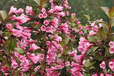weigela florida 39 nana purpurea 39 willaert boomkwekerij. Black Bedroom Furniture Sets. Home Design Ideas