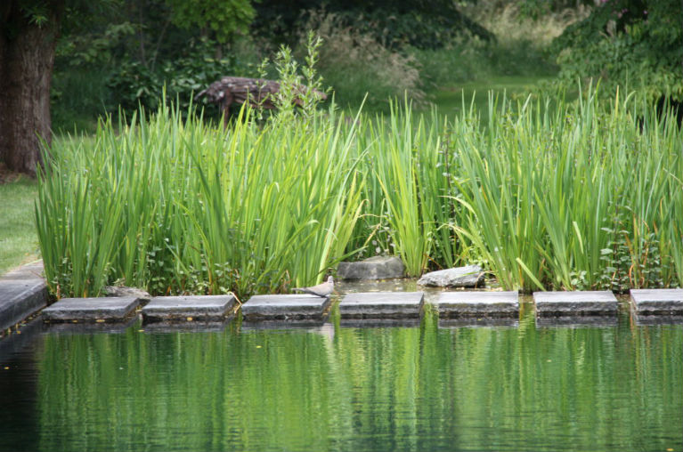 Natural purification of your pond with the right plants